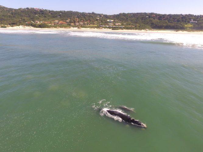 Baleias na Praia do Rosa - Turismo on line