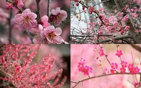 Flor de ameixa - Turismo on line