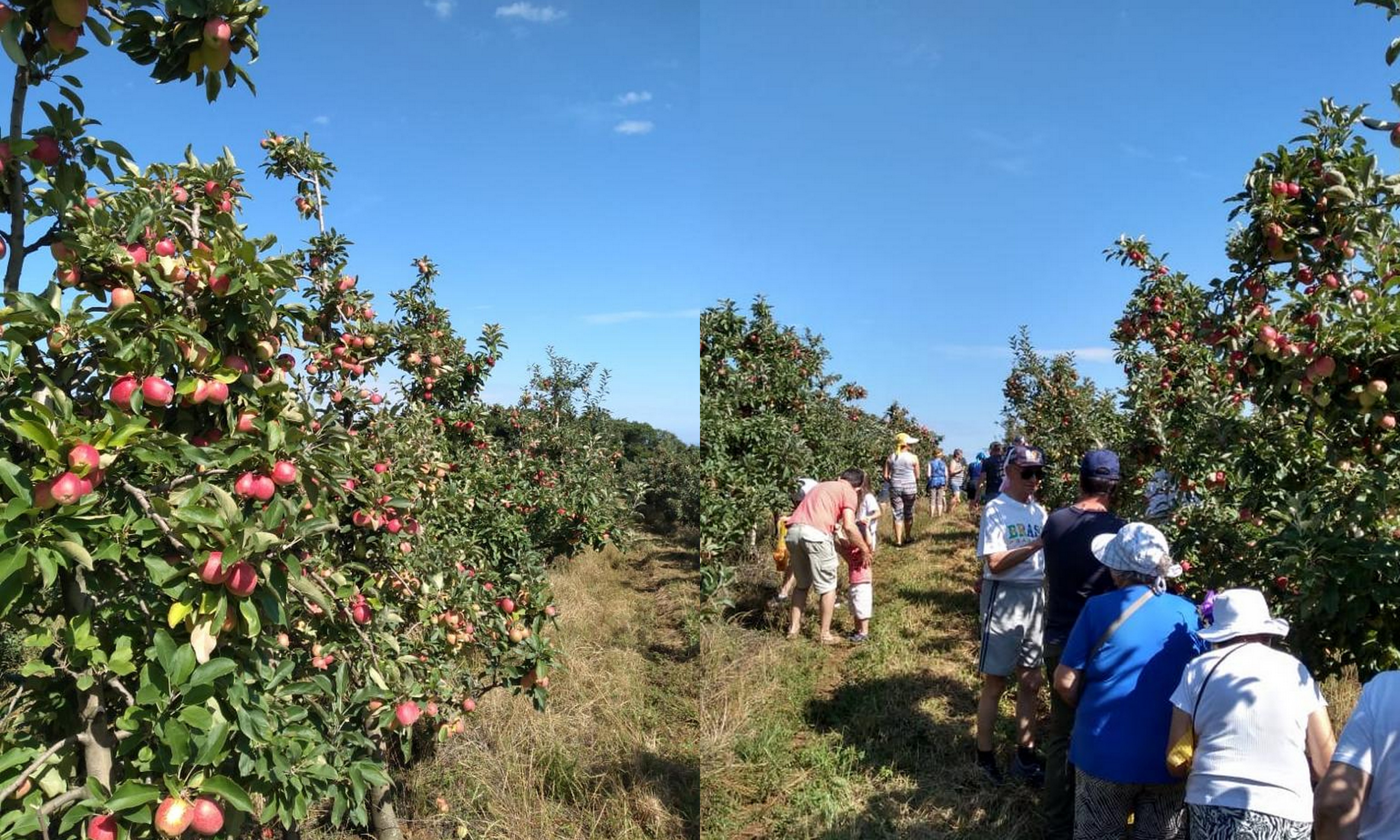 Colheita da maçã em Fraiburgo - turismoonline.net.br