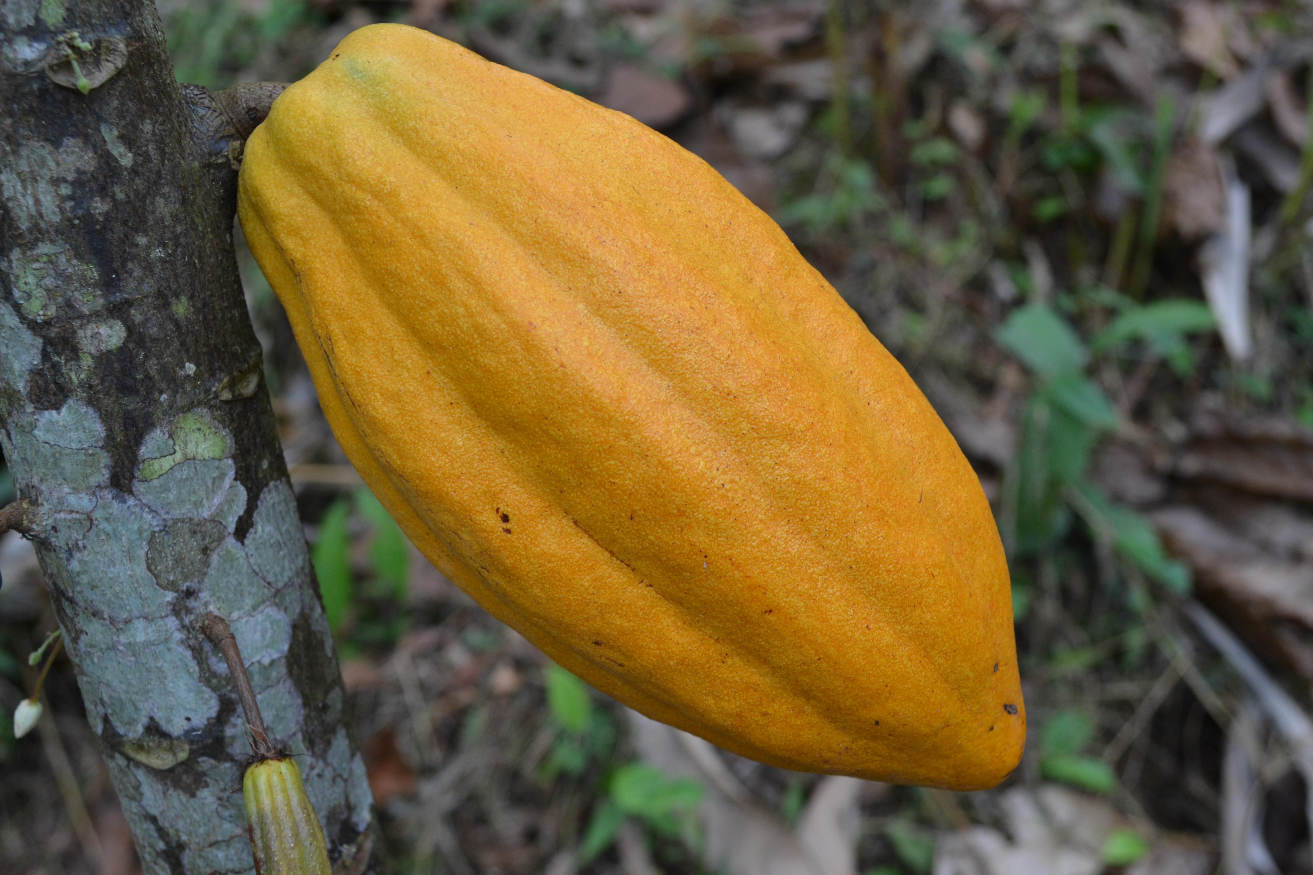Fruto do Cacau