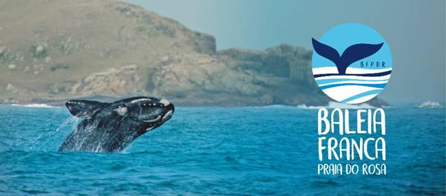 As baleias francas estão na região da Praia do Rosa, em Santa Catarina, para procriar e encantar. Até meados de outubro, o Instituto Baleia Franca (IBF) estima que aumente em 12% o número de baleias francas no litoral catarinense. No ano passado, mais de 250 baleias foram vistas na região. Além dos vários passeios e avistamento terrestre, a temporada 2019 tem uma novidade que agradará os turistas: a liberação dos barcos certificados para fazer avistamento das baleias.