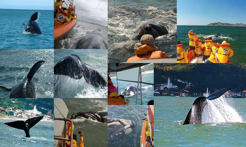 A retomada da atividade nesta temporada de 2019 consiste no monitoramento do comportamento das baleias na presença e na ausência de embarcações de turismo