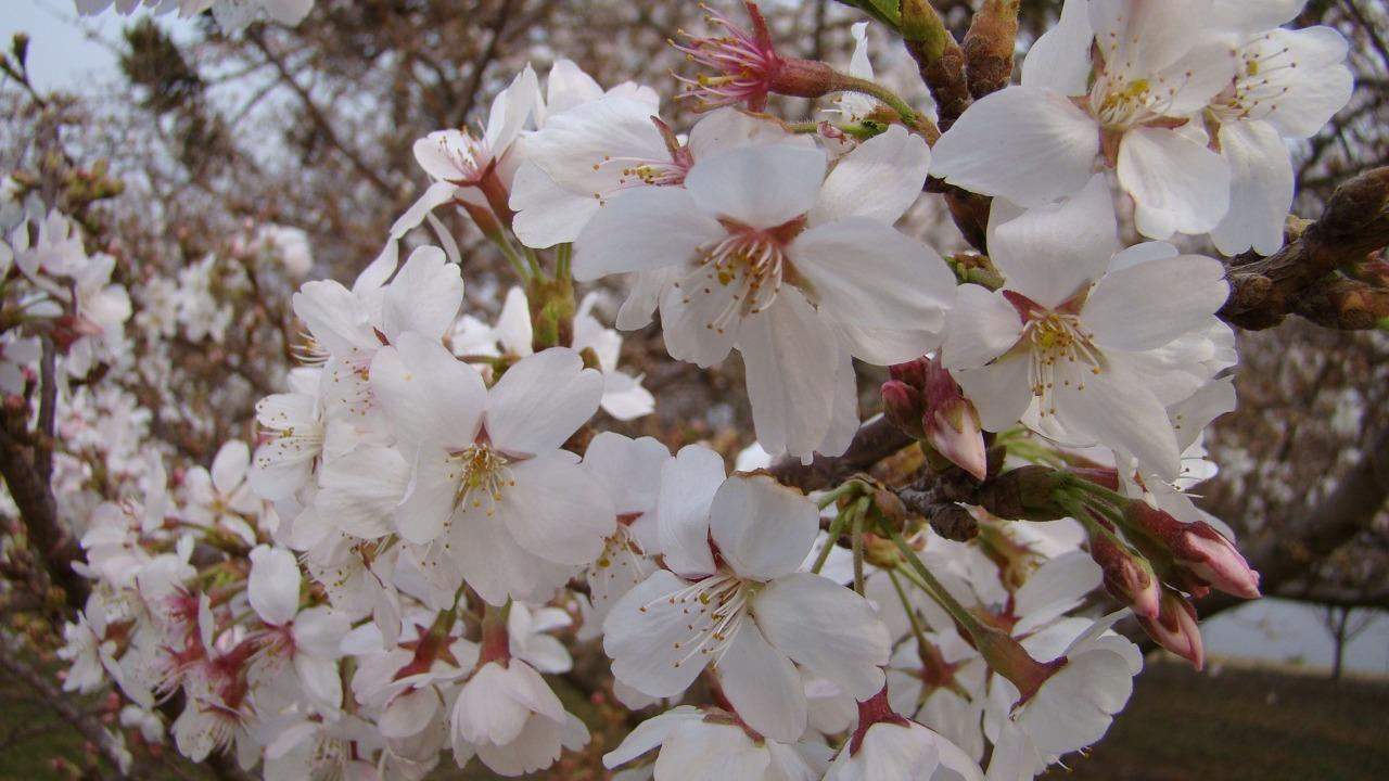 A primavera está chegando e com ela o espetáculo da florada das cerejeiras