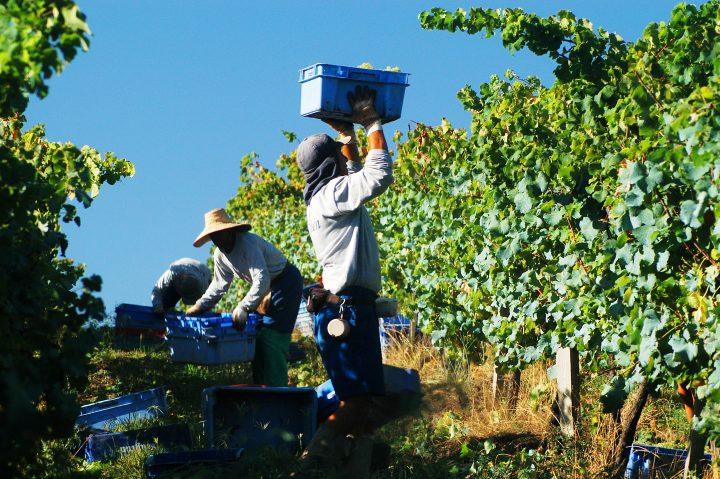 Miolo registra mais uma safra lendária na Serra Gaúcha